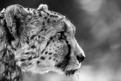 Chase Teron Wildlife Photographer Cheetah Portrait