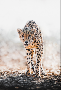 Chase Teron Wildlife and Nature Photographer Cheetah