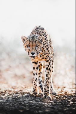 Chase Teron Wildlife and Nature Photographer Cheetah
