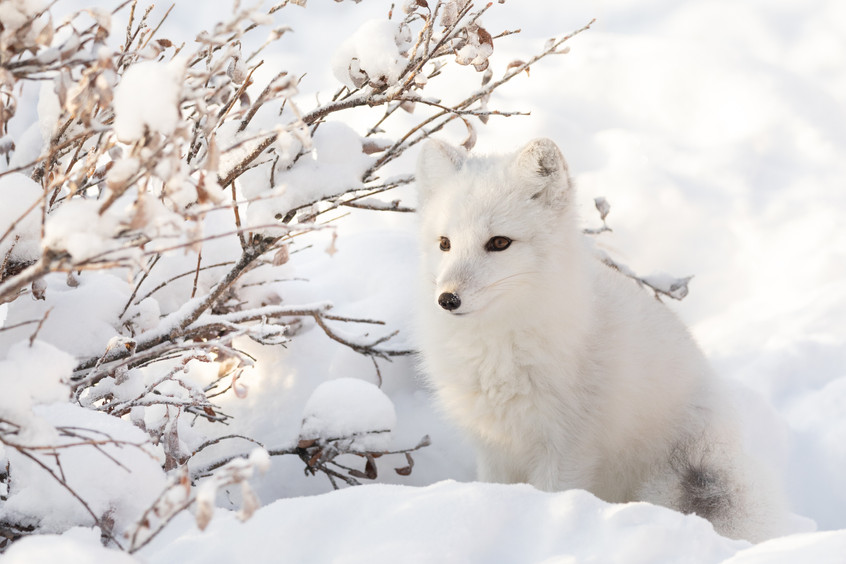 Tundra Wildlife Jenni Lisacek-50.jpg