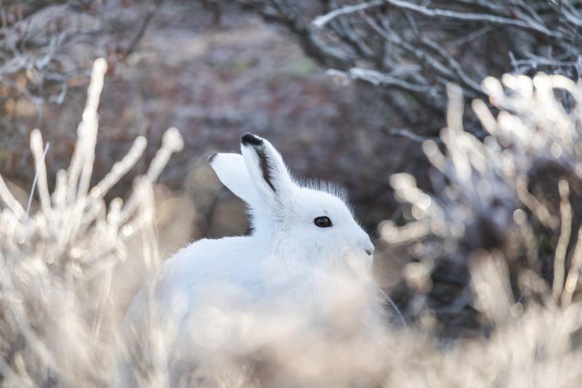 Tundra Wildlife Jenni Lisacek-52-4.jpg