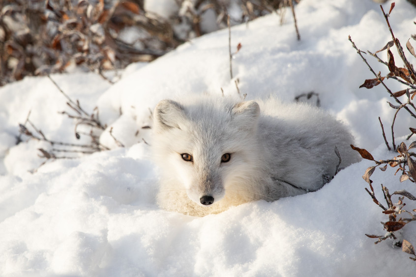 Tundra Wildlife Jenni Lisacek-52.jpg