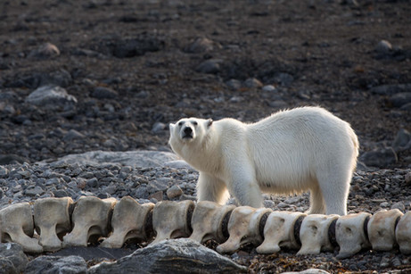 Polar Bears in Svalbard by Photographer Chase Teron