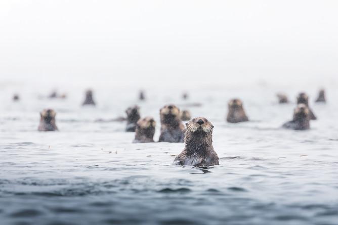 Chase Teron Sea Otters Vancouver Island