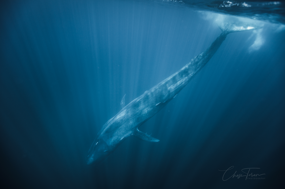 Chase Teron Photographer  Blue Whale Aqu