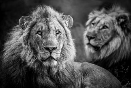 Chase Teron Wildlife Photographer Lion Portrait