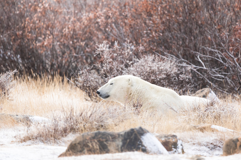 Tundra Wildlife Jenni Lisacek-1.jpg