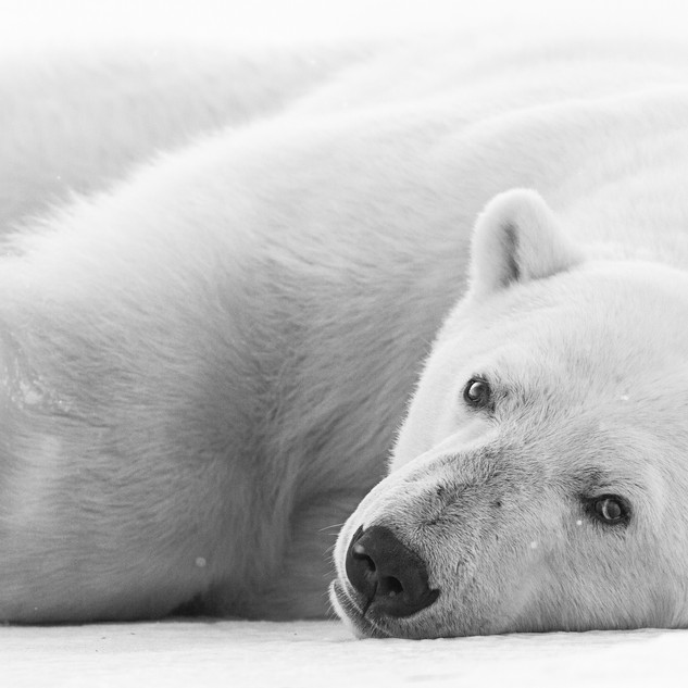 Polar Bear Portrait in Svalbard by Chase Teron Artica Studios