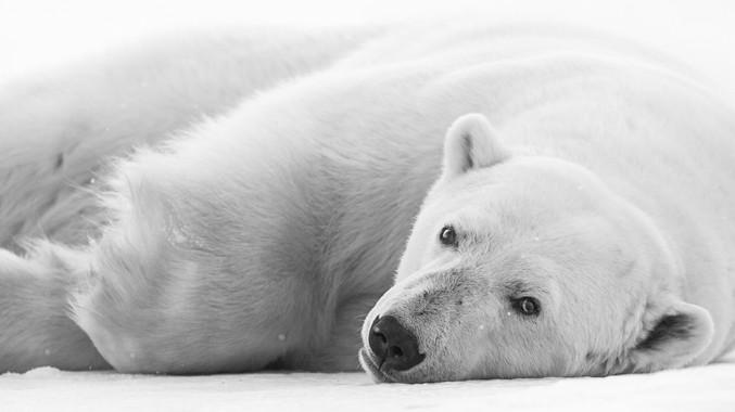 Chase Teron Wildlife Photographer Polar