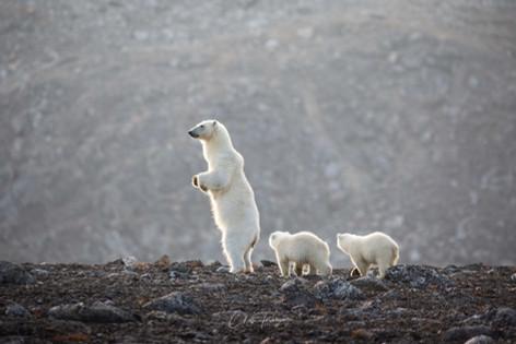 Chase Teron Polar Bears Svalbard Natural World Safaris