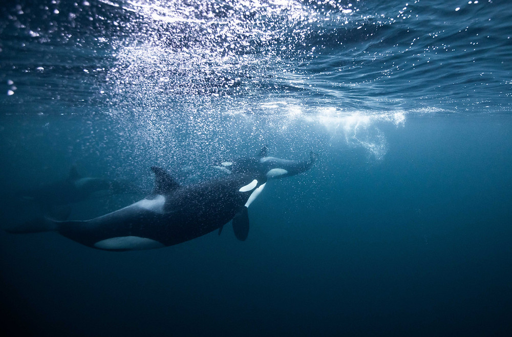 Swim with wild Orcas Photo Tour Artica Studios Chase Teron