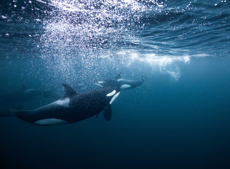 What it is Like to Swim with Wild Orcas in Norway