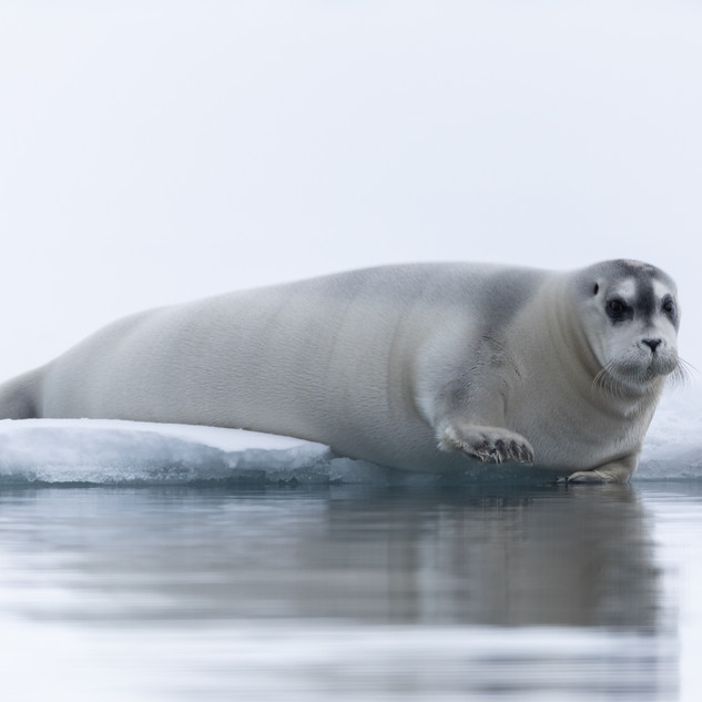 Seal in Svalbard by Chase Teron