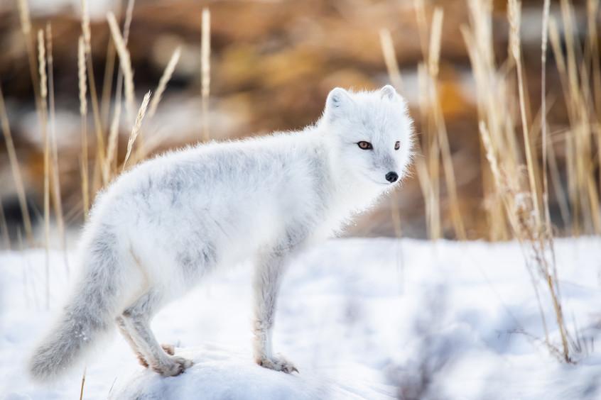 Tundra Wildlife Jenni Lisacek-52-17.jpg