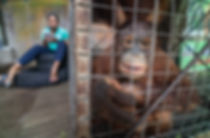 Caged Orangutans in Indonesia Chase Teron