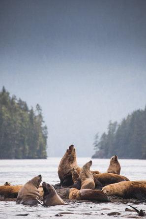 Sea Lions Great Bear Rainforest by Chase Teron Photographer