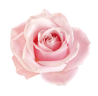 light-pink rose blossom on white backgro