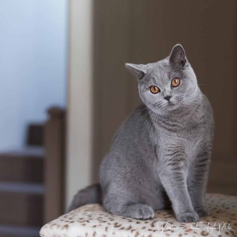 le chat de la maison regarde les préparatifs de la mariée