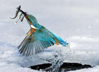 Mücevher kanatlar..! Yalıçapkını