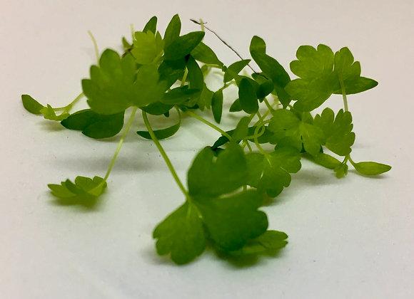 Celery Microgreens