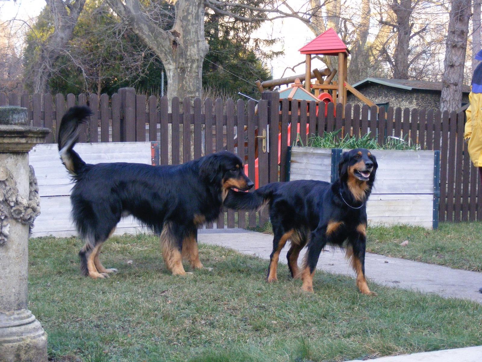 Cuccioli Hovawart Mare d'Inverno