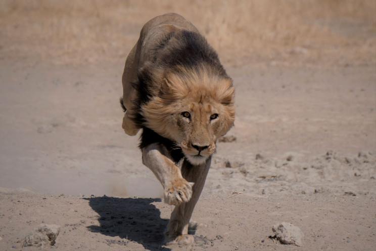 Kalahari Lion Hunting