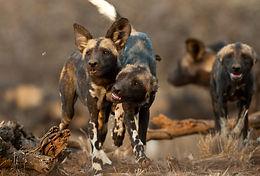 Wild Dogs of Laikipia