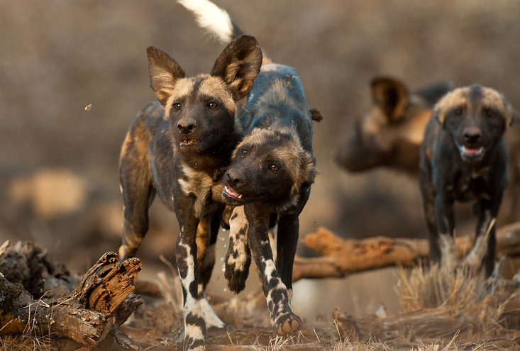 Wild Dogs of Laikipia