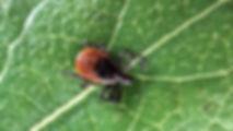 tick on leaf.jpg