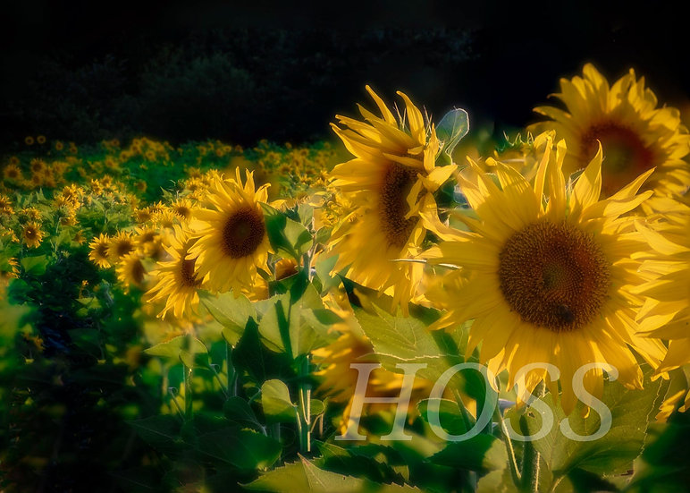 The Sunflowers of Ijams Nature Center