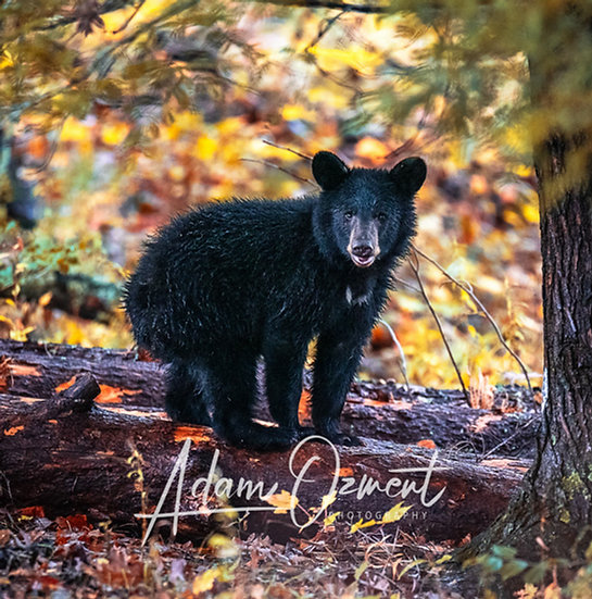 Bear of Cades Cove