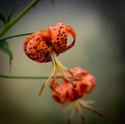 Wild Flower on AT
