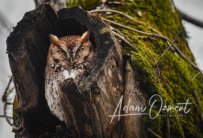Owl of the Smokies