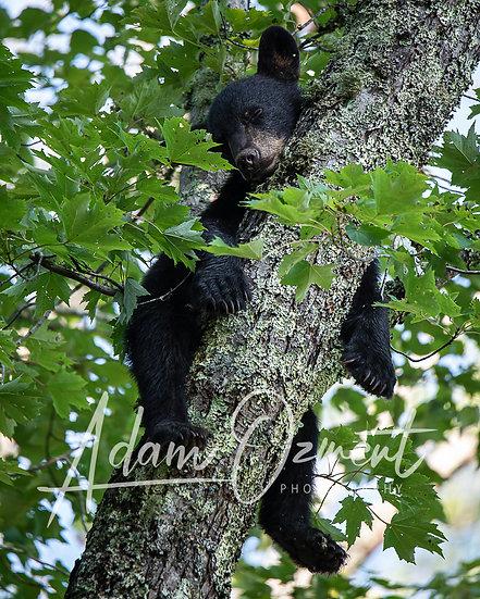 Bear in Cades Cove