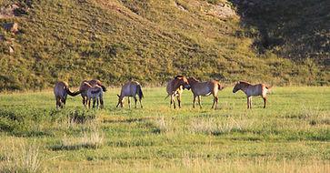 Mongolian-wild-horses-on-the-grass.jpg
