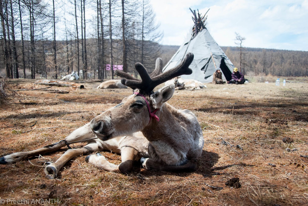 Tsaatan (reindeer family) that lives in a Tipi. A tipi is a hut that is made of animal skin and wrapped around wooden poles. Another traditional dwelling of the nomads