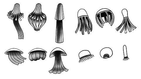 ASN_Jellyfish_V2.jpg