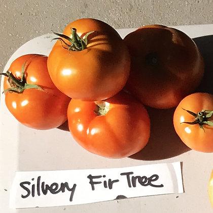 TOMATO Silvery Fir Tree