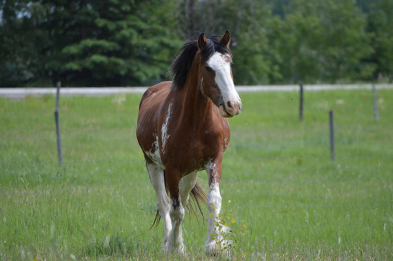 Britt, Clydesdale mare
