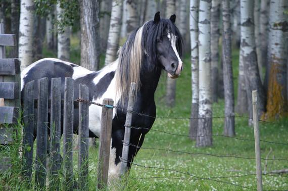 Romeo, Drum stallion