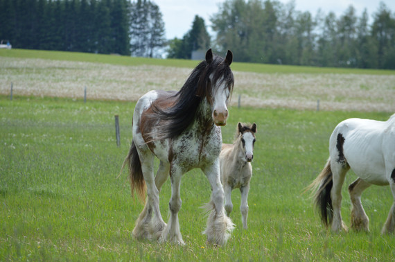 Alice, Clydesdale mare