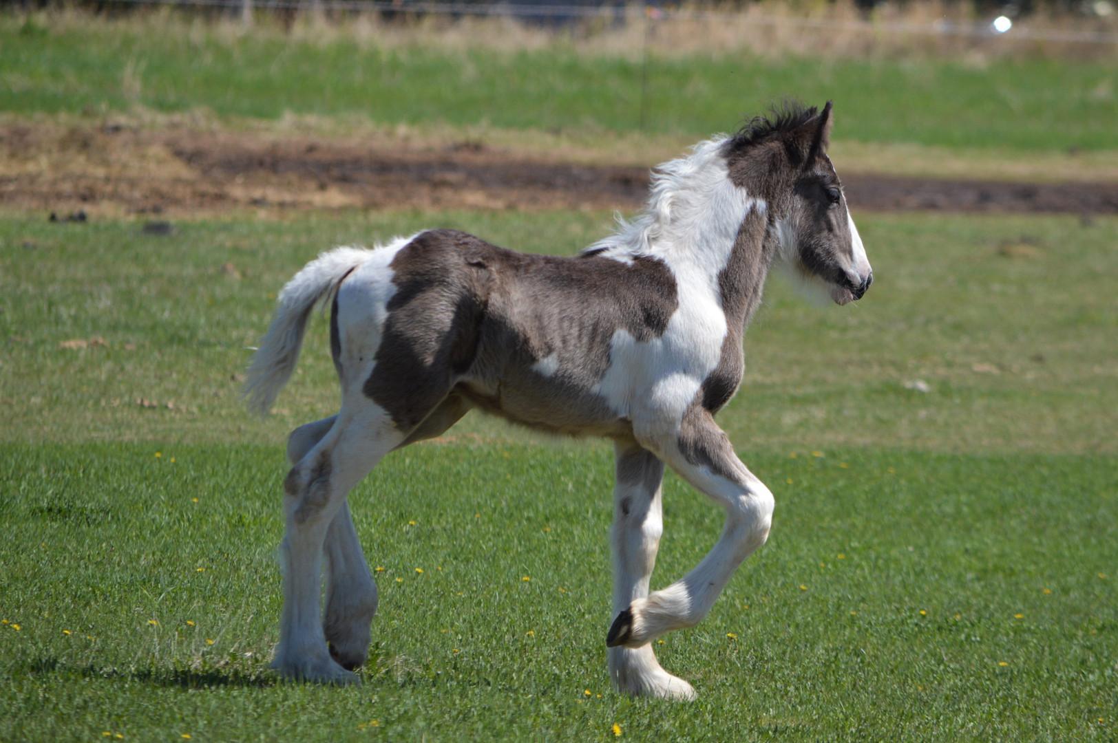 Hercules, our 2018 Drum foal