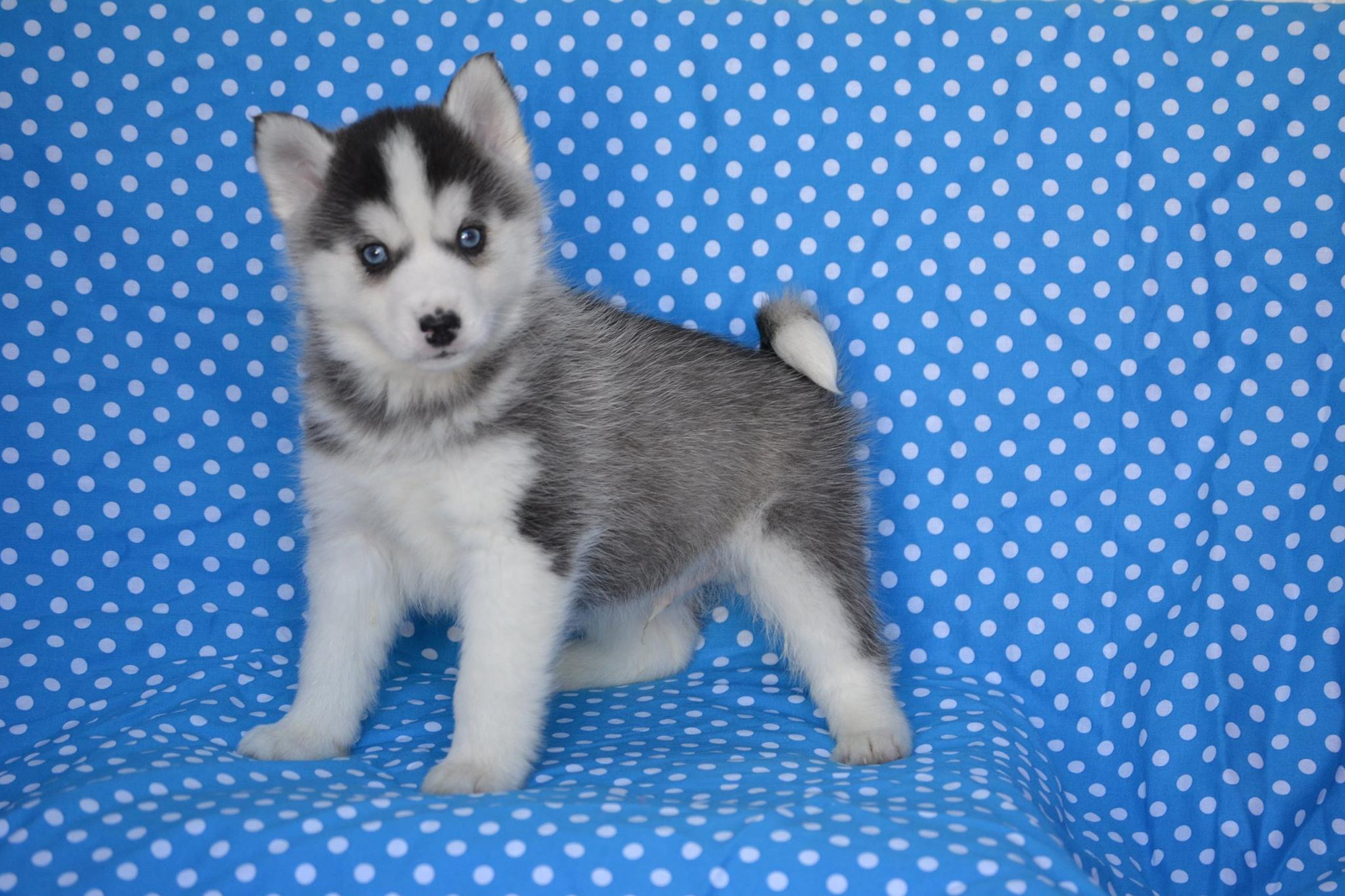 Best Puppies For Sale | Long Island, New York, NYC, NJ, CT, USA