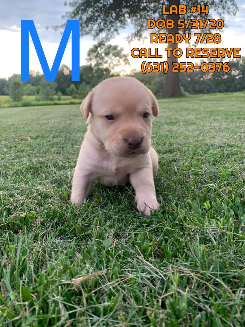 Available Puppies Long Island Ny Nyc Ct Nj