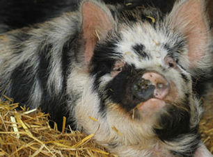 Happy rare breed pig