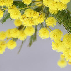 Yellow Mimosa plant in bloom