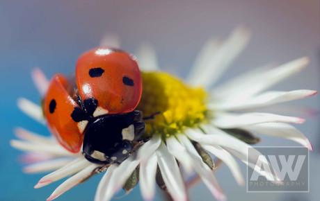 Ladybird and daisy
