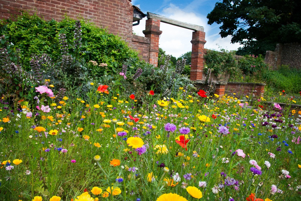 A wild flower bed in Connaught Gardens, Sidmouth. The flowers are in bloom during summertime. There are ruins of the old brick building, which have been preserved and make up the backdrop to the walled gardens.