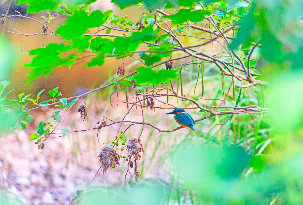 A kingfisher spotted through verdant spring leaves waiting for a fish in the river below.