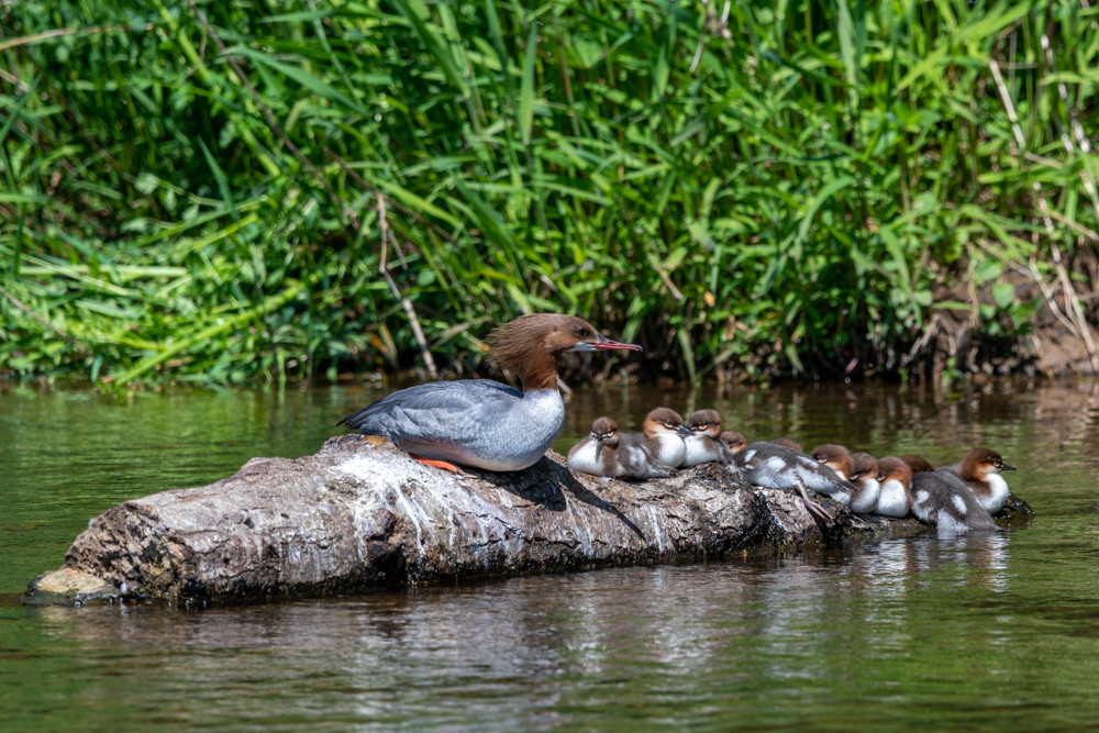 Goosander and her 14 chicks on a log in the middle of the river.